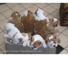 Bulldogs ingleses dulces lindos 60euros