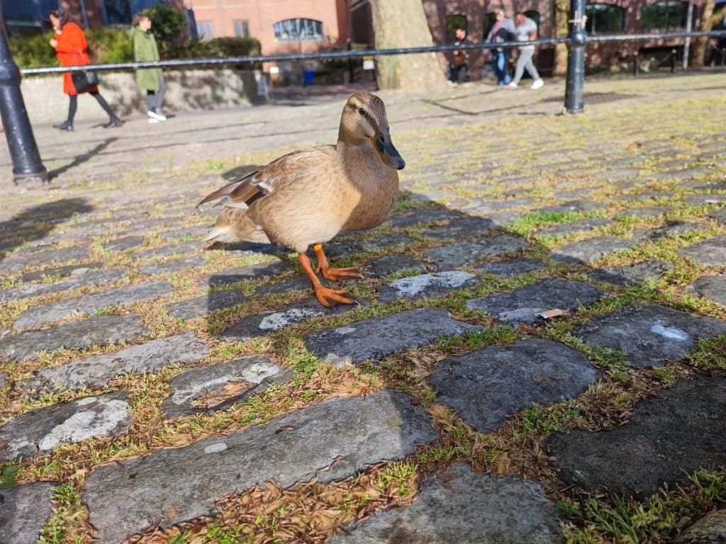 Foto de muestra de Xiaomi Mi 11i de un pato